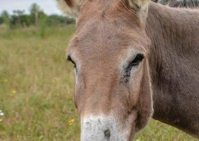 L'âne Saphir