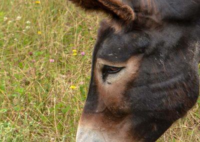 L'âne Baronne