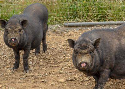 Cassis et Framboise les cochons vietnamiens